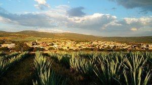 Un champ d'agaves bleues au Mexique
