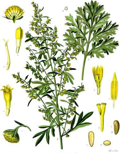 Représentation de la Grande Absinthe (Artemisia absinthium)